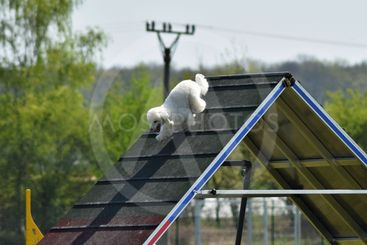 Poodle in agility intensive training
