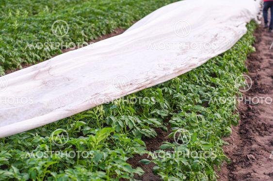 Partially covered potato plantation row with spunbond...