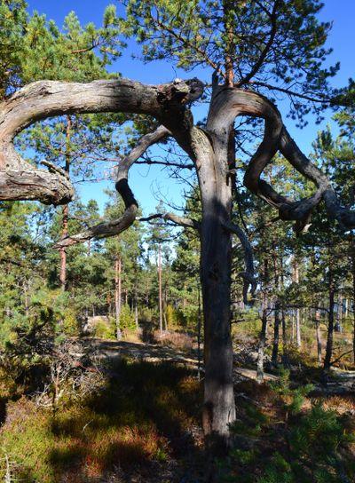 Hornträd