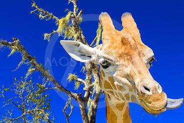 Head shot of the colorfull gracefull Giraffe.
