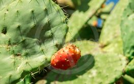Prickly pear cactus aka opuntia with ripe red and yellow...