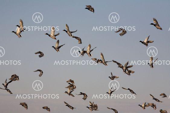 Ænder i Flight
