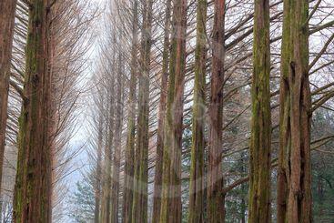 Dawn Redwood tree in winter.