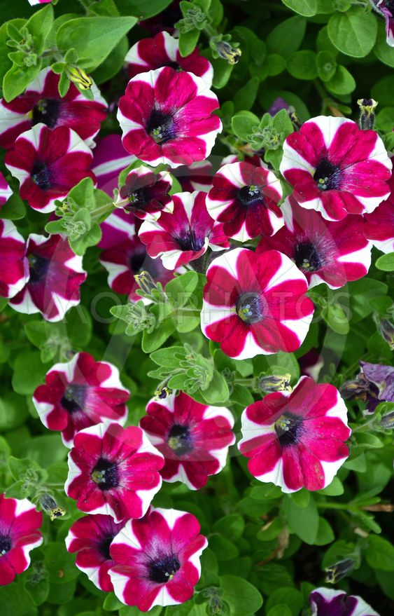 Red and white striped petunias