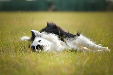 Dogs, border collies are sitting in grass.