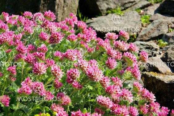 Wundklee - Anthyllis montana 02