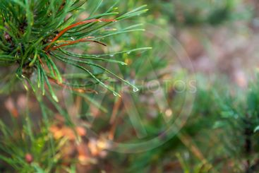 A bright evergreen pine tree green needles branches with...
