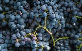 Purple grapes background