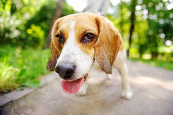 Funny active Beagle dog