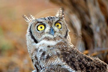 Spotted eagle-owl portrait