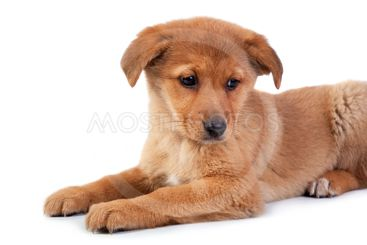 The red puppy on white background