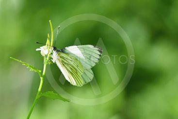 A beautiful shot of butterfly in nature.(Pieris brassicae)