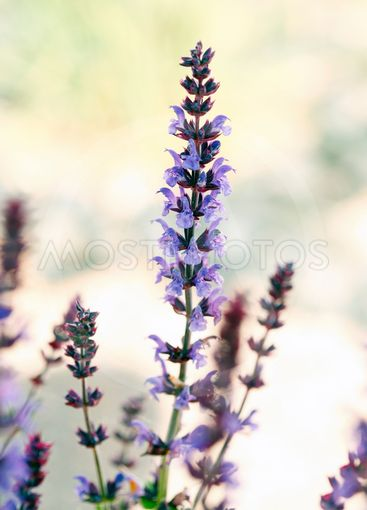 close up of sage flowering  outdoors against brigth...